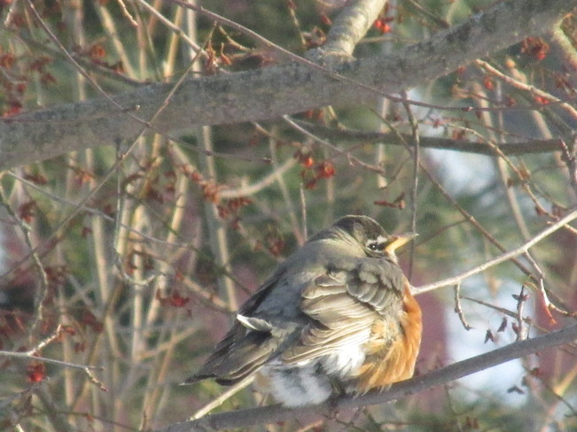 Robins at the Sackville Waterfowl park