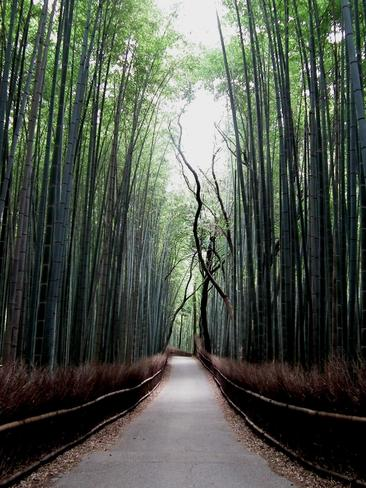 A magical bamboo forest Kyoto, Kyoto Japan