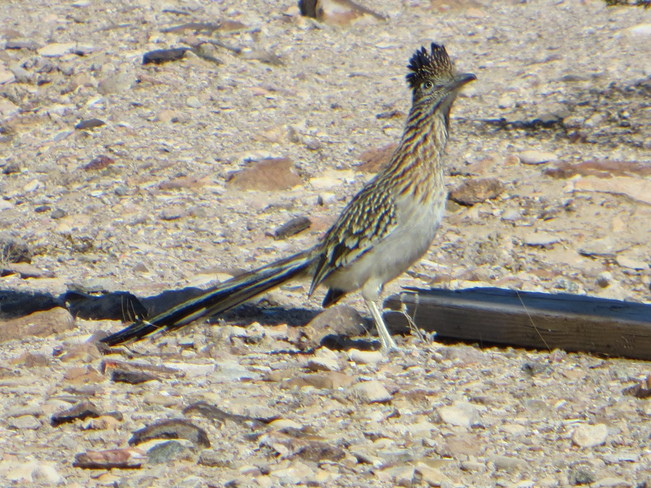 Roadrunner Bullhead City, Arizona United States