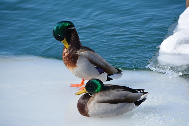 Male Mallards! St. Catharines, Ontario Canada