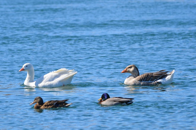 White goose with mate and mallards! St. Catharines, Ontario Canada
