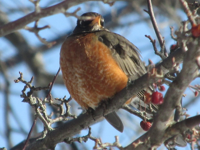 Gorgeous Robin Redbreast