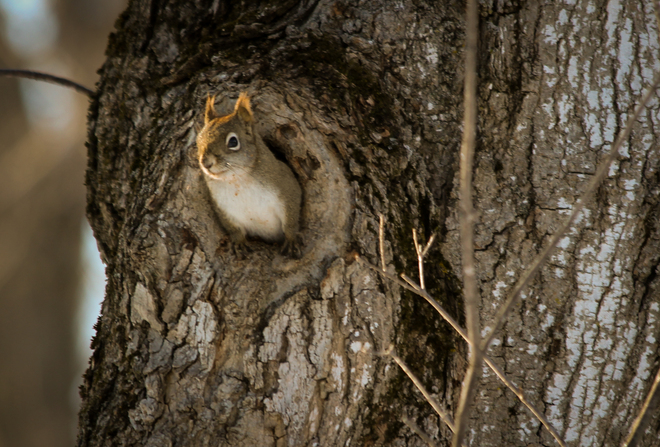Red Squirrel peeking out! Kingston, Ontario Canada