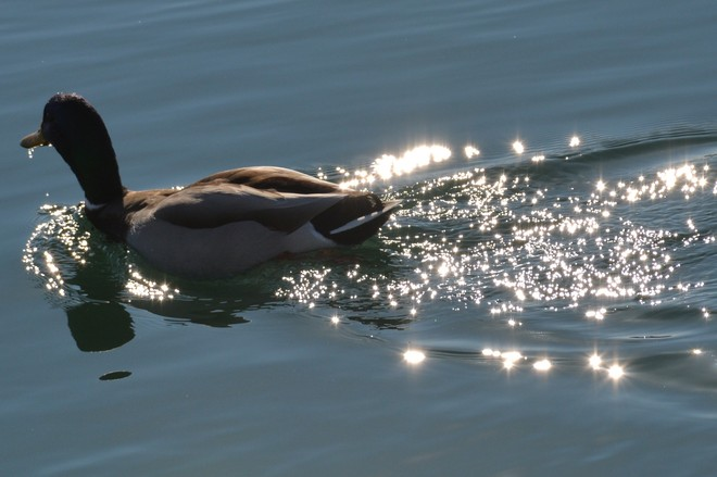Male Mallard in the Sunlight! St. Catharines, Ontario Canada