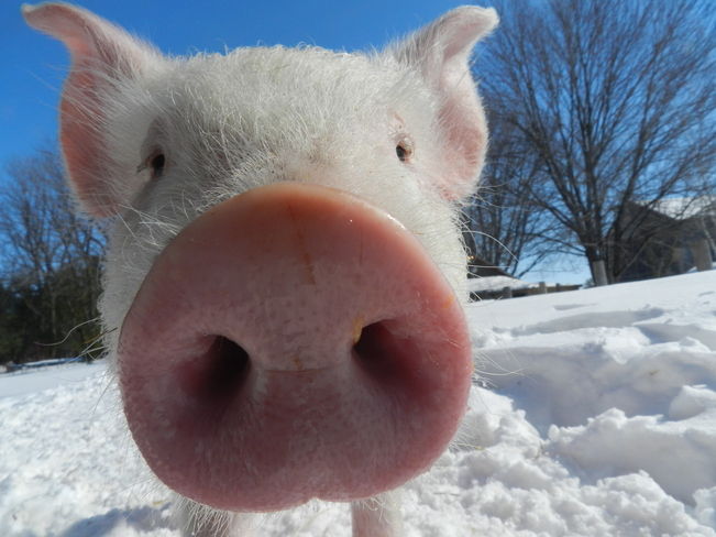pig in winter