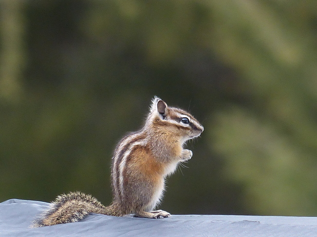 first chipmunk Grand Forks, British Columbia Canada