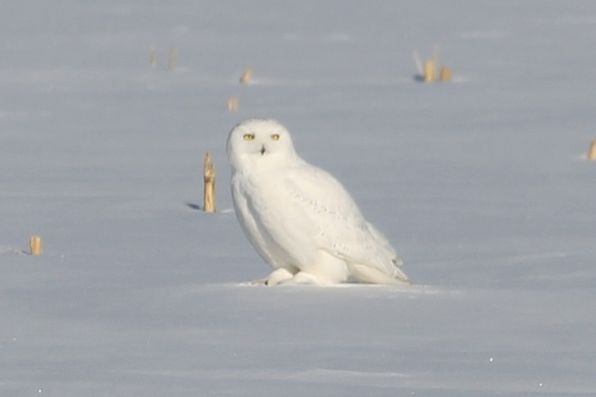 Snowy Owl Stare Down St. Isidore, Ontario Canada