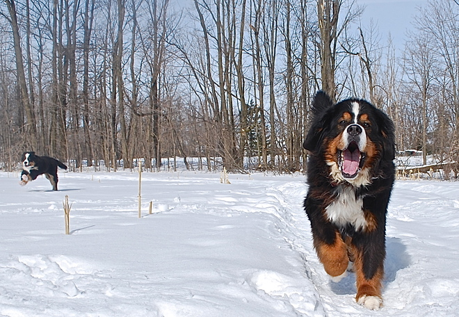 Enjoying a run through the snow Halton Hills, Ontario Canada
