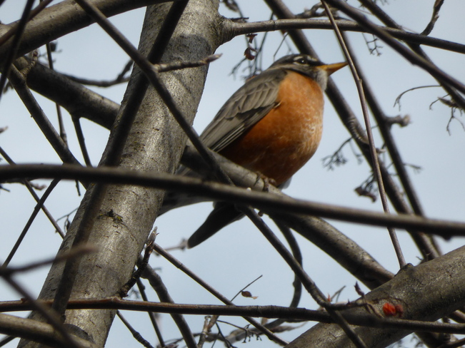 Robins are back Vernon, British Columbia Canada