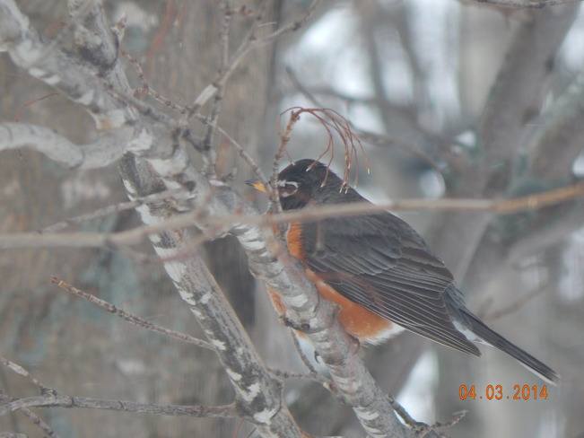first robin of spring Berwick, Nova Scotia Canada