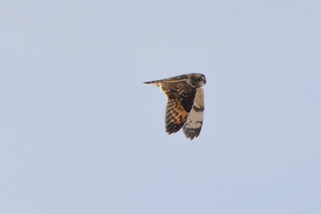 Short Eared Owl! St. Catharines, Ontario Canada