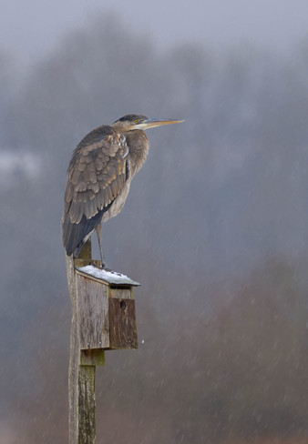 A heron in the rain. Port Coquitlam, British Columbia Canada
