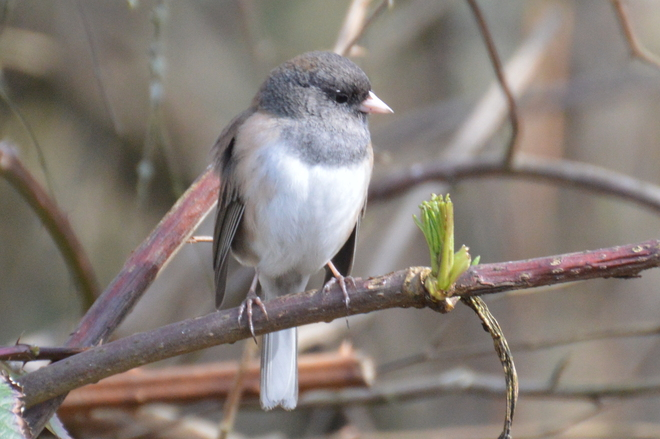 Dark-eyed Junco Richmond, British Columbia Canada