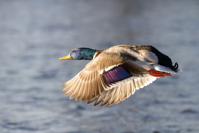 Wild Duck in Flight Ottawa, Ontario Canada