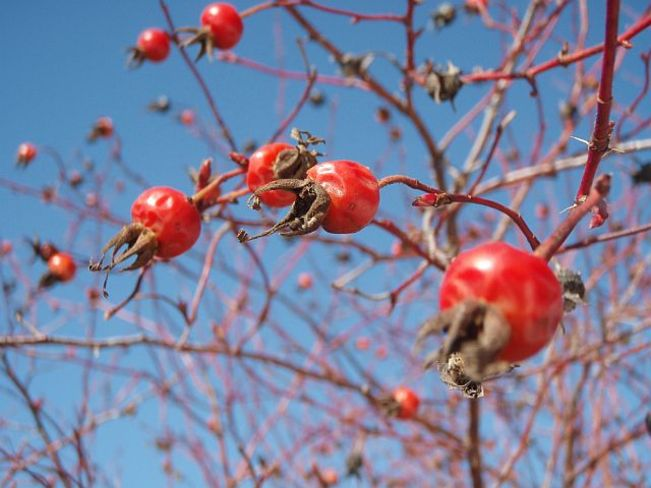 Rose Hips and Blue Sky Slocan, British Columbia Canada