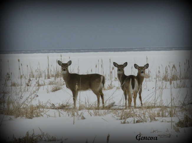 The Deers Cocagne, New Brunswick Canada