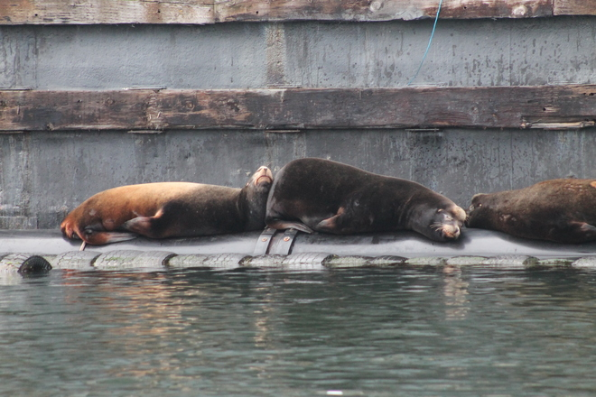 Sea Lions-Afloat Fanny Bay, British Columbia Canada