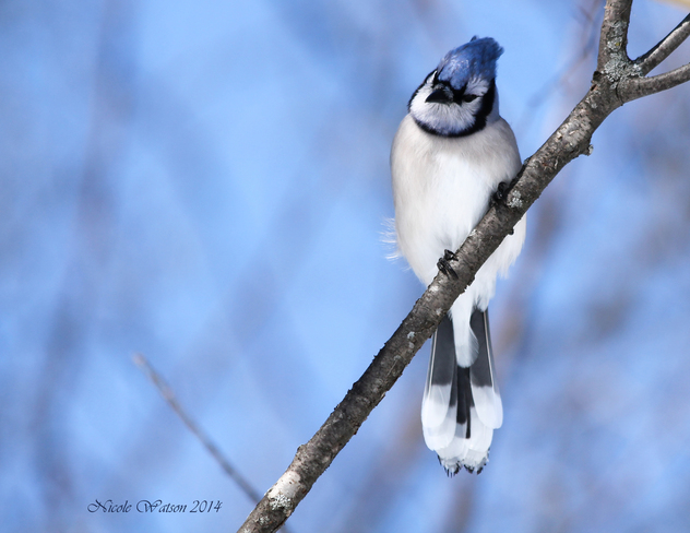 Inquisitive looking Blue Jay Kingston, Ontario Canada