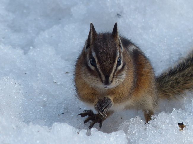 chipmunk with full cheeks Grand Forks, British Columbia Canada
