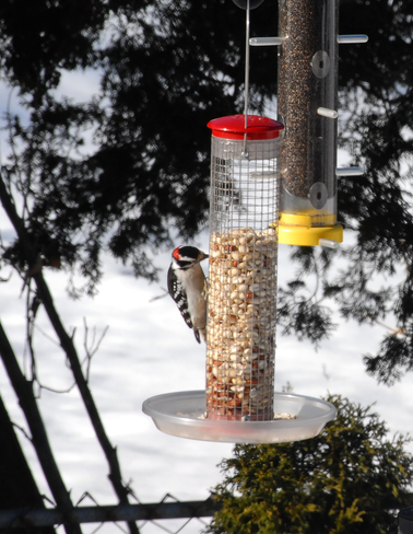 Peanuts For Woodpeckers Burlington, Ontario Canada