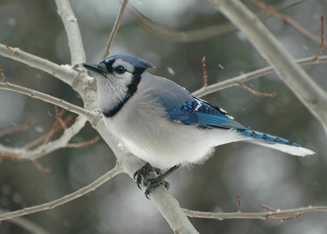 Blue Jay in Poplar Kennisis Lake, Ontario Canada