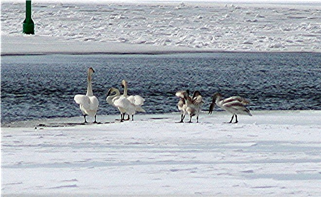 Swans Flapping Smiths Falls, Ontario Canada