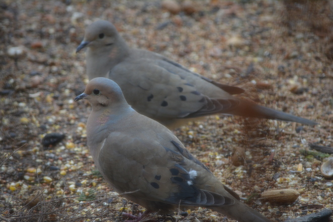Mourning Doves! St. Catharines, Ontario Canada
