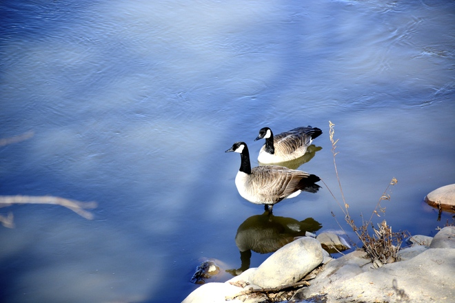A couple of geese on the South Saskatchewan. Medicine Hat, Alberta Canada