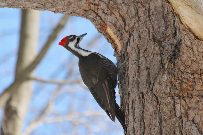 Pileated Woodpecker in Lemoine Kingston, Ontario Canada