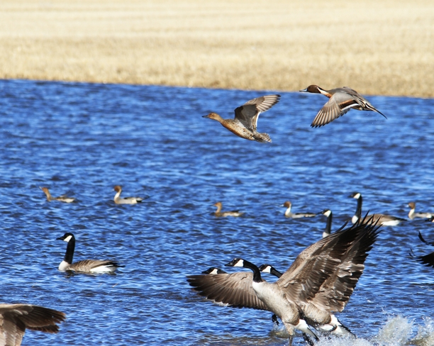 pintails and geese Brooks, Alberta Canada