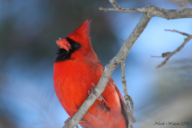 Male Cardinal up close