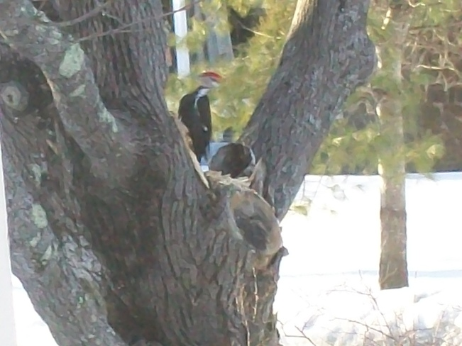Pileated Woodpecker Lawrencetown, Nova Scotia Canada