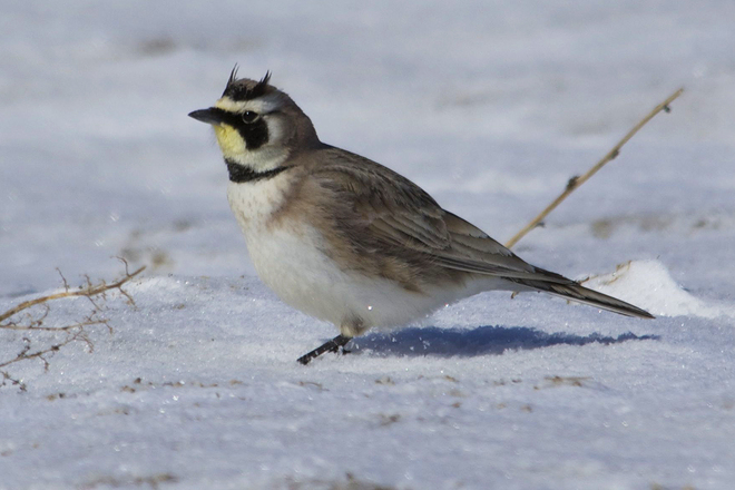 Horned Lark enjoying the sunshine Waterloo, Ontario Canada