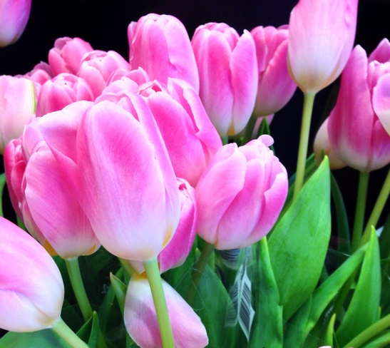 Pink Tulips for Tuesday Vancouver, British Columbia Canada