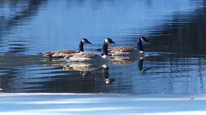 Canada geese on the granby river Grand Forks, British Columbia Canada