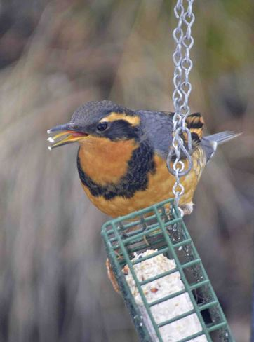 varied thrush taste test Greenwood, British Columbia Canada