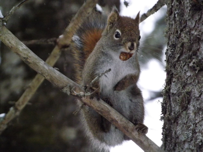 RED SQUIRREL MODELLING Thunder Bay, Ontario Canada