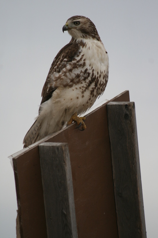 Red Tailed Hawk St. Catharines, Ontario Canada