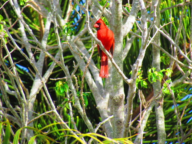 Cardinal Fort Lauderdale, Florida United States