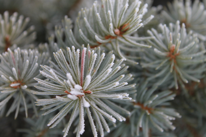 Frosted Pine Needles Winnipeg, Manitoba Canada