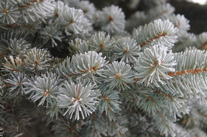 Frosted pine needles, first day of spring Winnipeg, Manitoba Canada