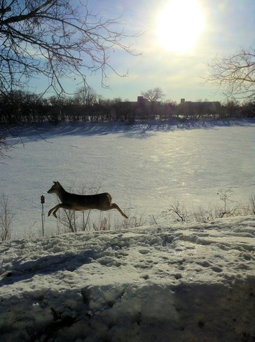 Deer On The Red River Winnipeg, Manitoba Canada