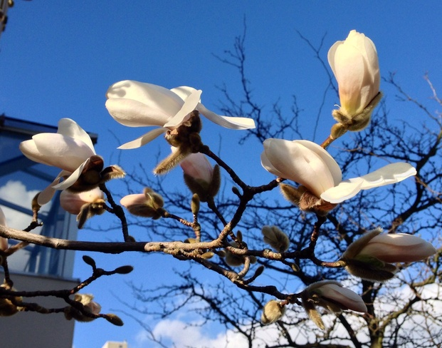 Beautiful Magnolia Buds West Vancouver, British Columbia Canada
