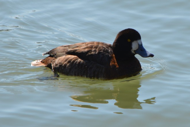 Female Greater Scaup! St. Catharines, Ontario Canada