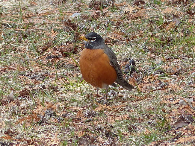Spring robin Grand Forks, British Columbia Canada