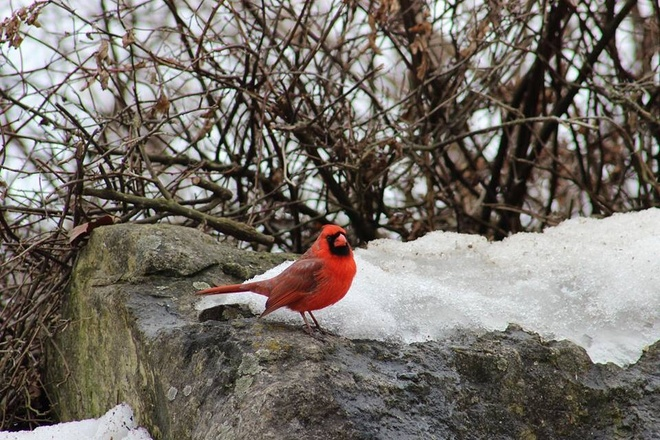 beautiful cardinal Burlington, Ontario Canada