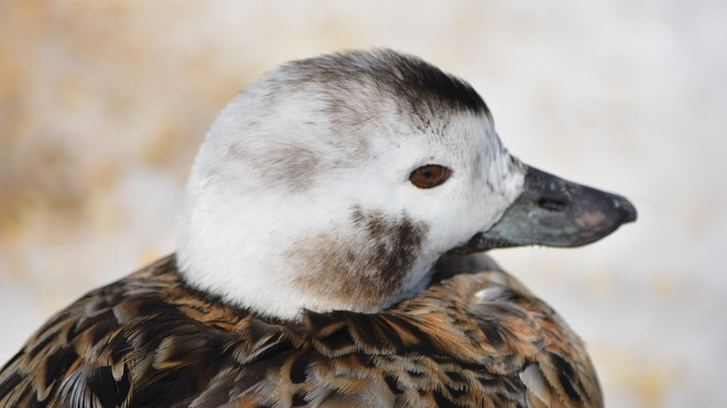 Duckling- Female Long Tailed Duck! St. Catharines, Ontario Canada