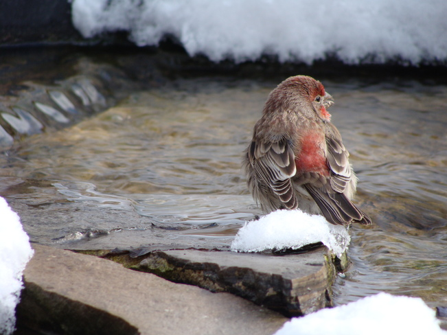 Finch at Backyard Pond Acton, Ontario Canada