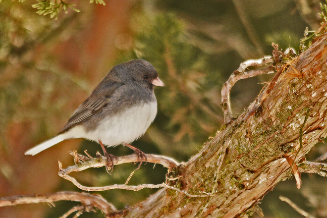 Junco Enjoying the Sun Kitchener, Ontario Canada