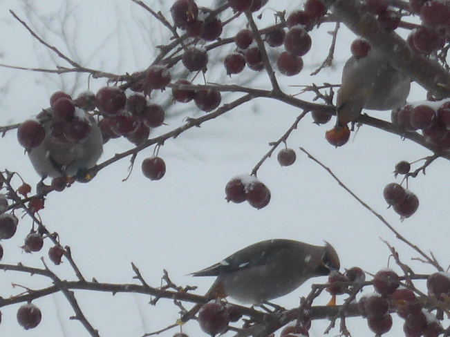 Cedar Waxwings In My Backyard Birchy Bay, Newfoundland and Labrador Canada